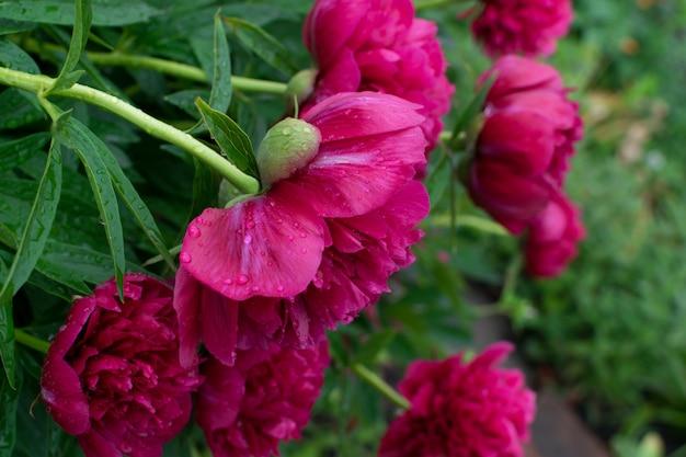Schöne rote pfingstrose oder paeony mit knospen und blättern