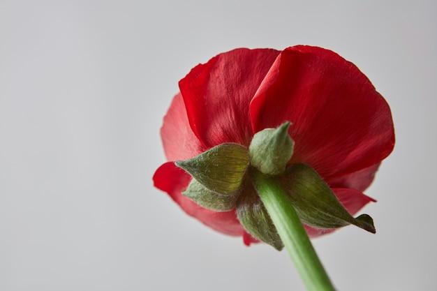 Schöne rote ranunkelnblume mit grünen blättern auf grauem hintergrund, grußkarte zum valentinstag