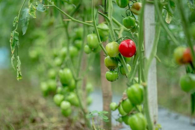 Schöne rote reife tomaten, die in einem gewächshaus angebaut werden bereit zur ernte
