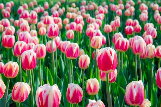 Schöne rote rosa weiße tulpen im garten