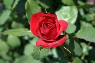 Schöne rote rose, gartenarbeit