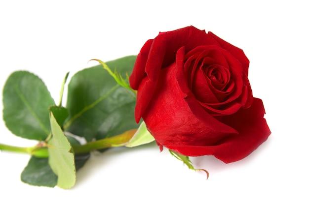 Schöne rote rose isoliert