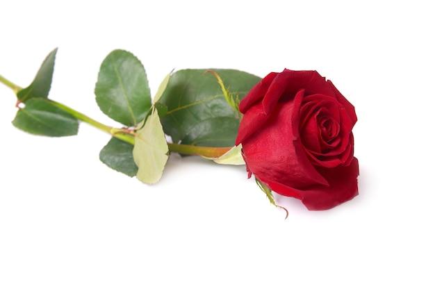 Schöne rote rose lokalisiert auf weiß