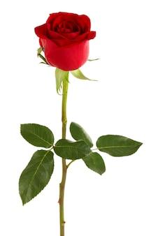 Schöne rote rose lokalisiert auf weißer oberfläche