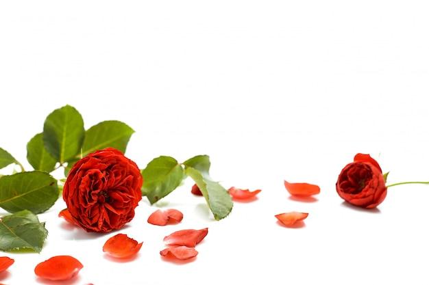 Schöne rote rose mit blättern auf weiß