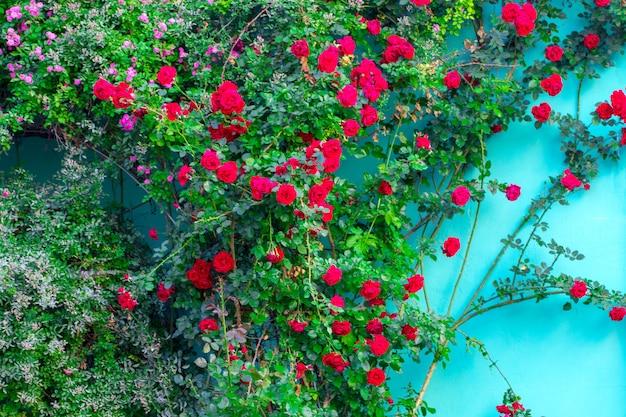 Schöne rote rosen an der fassade am fenster am alten haus in der straße.