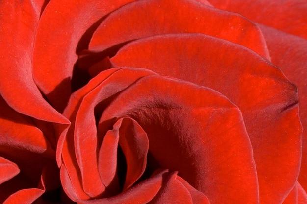 Schöne rote rosenblätter hintergrund und textur. nahansicht