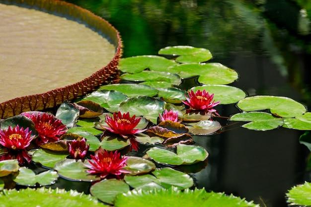 Schöne rote seerose oder lotusblumen im teich