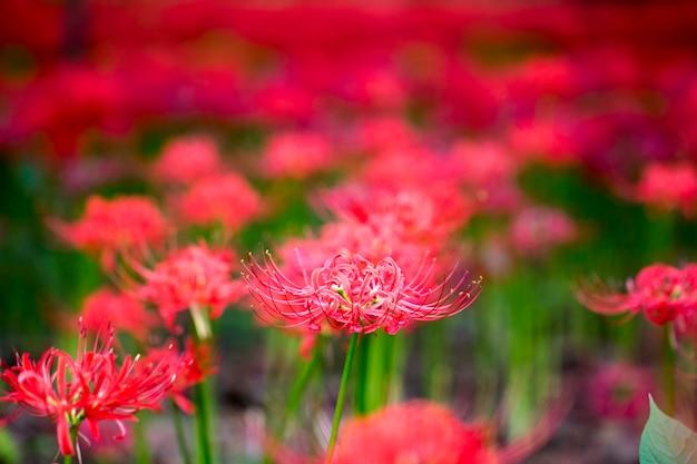 Schöne rote spinnenlilie im feld