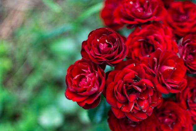 Schöne rote teerosen in der gartennahaufnahme, natürlicher blumenhintergrund