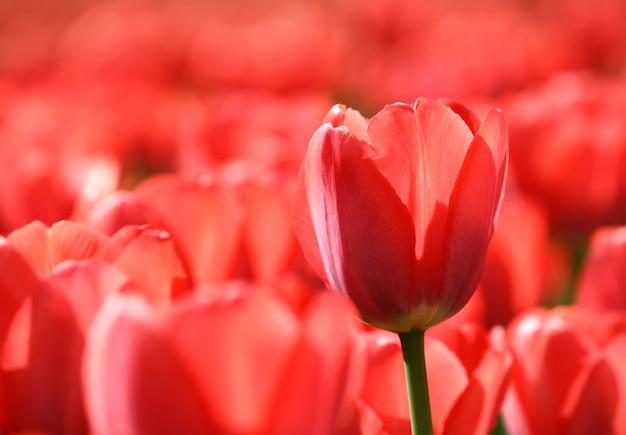 Schöne rote tulpen, die im sonnenlicht glühen