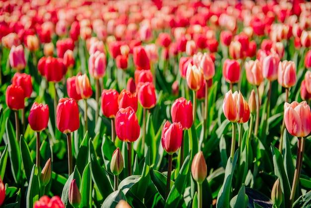 Schöne rote tulpen in den niederlanden an den sonnigen frühlingstagen.