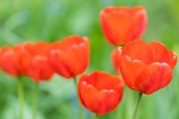 Schöne rote tulpen in der natur. sommer postkarte. foto in hoher qualität