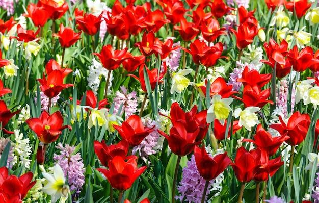 Schöne rote tulpen, rosa hyazinthen und narzisse (nahaufnahme) auf frühlingsblumenbeet