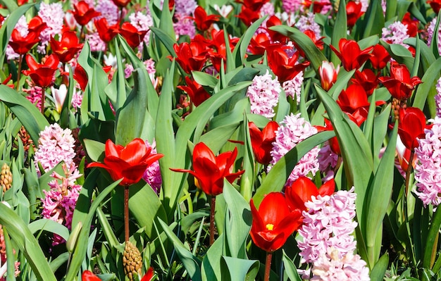 Schöne rote tulpen und rosa hyazinthen nahaufnahme im frühjahr. natur hintergrund.