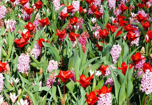 Schöne rote tulpen und rosa hyazinthen (nahaufnahme) im frühling