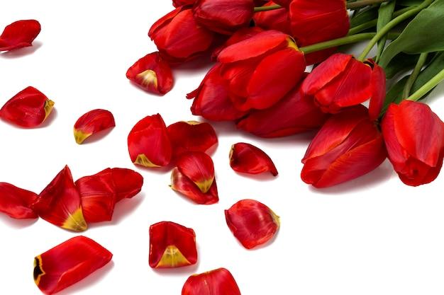 Schöne rote tulpen und verstreute blütenblätter auf einem weißen hintergrund.