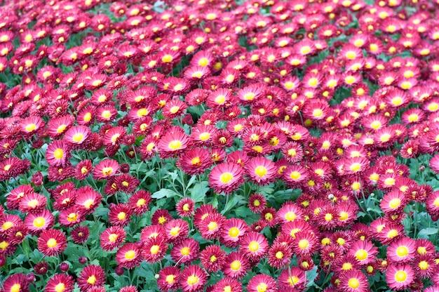 Schöne rote und gelbe chrysantheme in den grünen blättern.