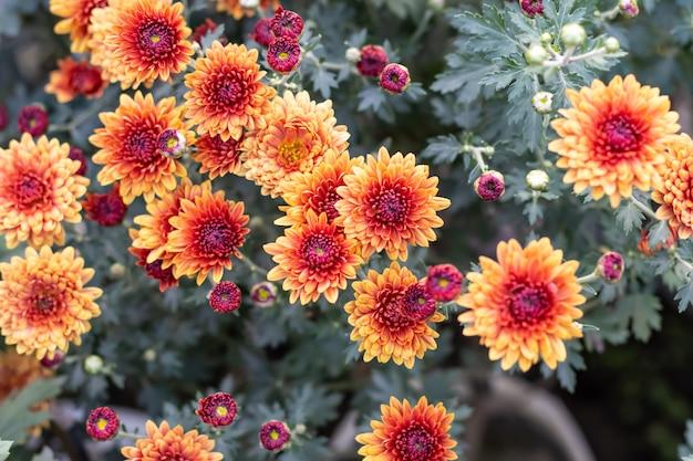 Schöne rote und gelbe chrysanthemenblumen mit blättern im garten
