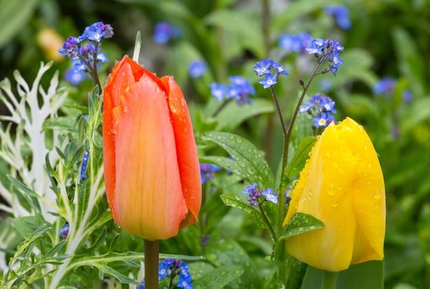 Schöne rote und gelbe tulpennahaufnahme. natur vielfarbiger hintergrund.
