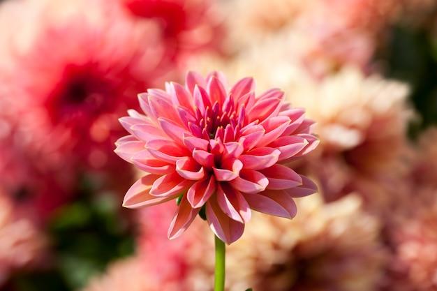 Schöne rote und rosa blumen in blumenbeeten in der frühlingssaisonblumen schließen und wachsen in einem blumenbeet in den stadtblütenpflanzen