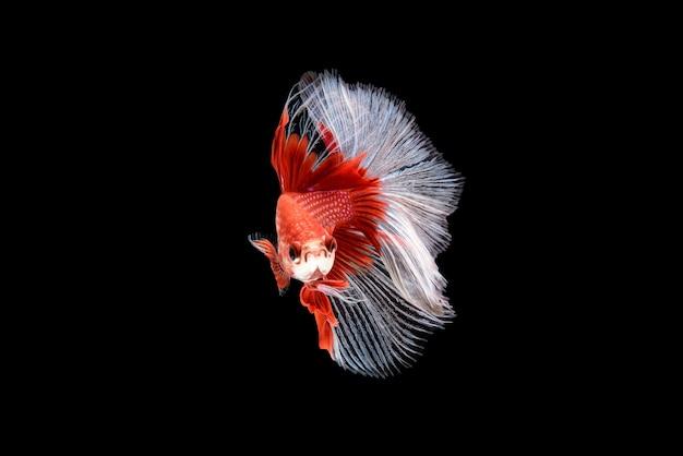 Schöne rote und weiße betta splendens, siamesischer kampffisch oder plakat in thailändischen beliebten fischen im aquarium ist dekoratives nasses haustier.
