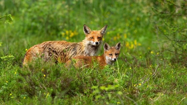 Schöne rotfuchsmutter und jungtier, die in die kamera auf einer grünen wiese in der natur schauen