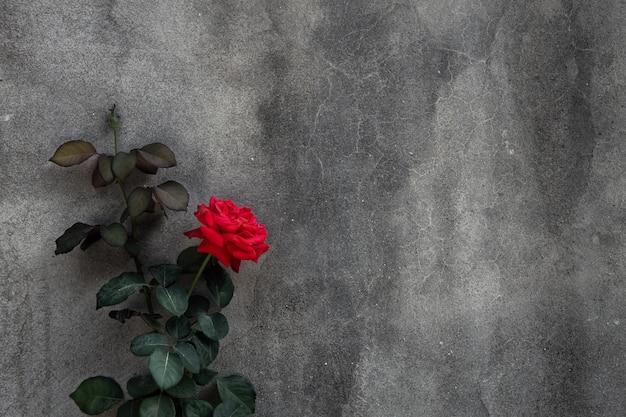 Schöne rotrose auf hintergrund der grauen betonmauer