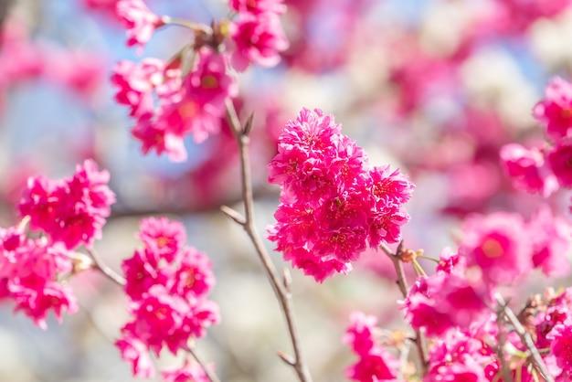 Schöne sakura-kirschblüte in dunkelrosa farbe im frühling auf der baumoberfläche.