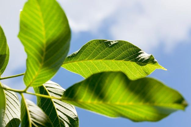 Schöne saubere neue walnussblätter im frühjahr, dichte vegetation im garten oder walnusshain