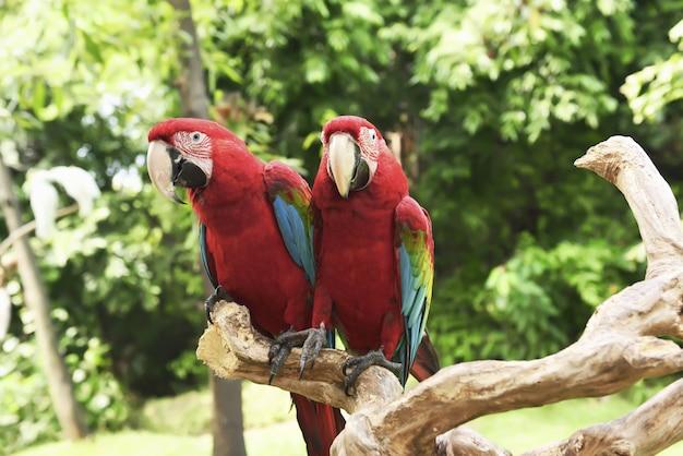 Schöne scharlachrote keilschwanzsittiche (ara macao) sitzend auf der niederlassung