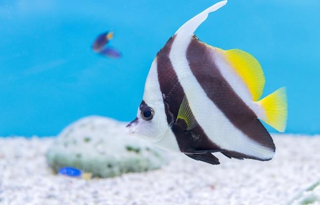 Schöne schmetterlingsfische auf blauem hintergrund