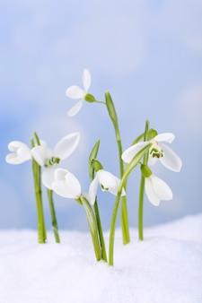 Schöne schneeglöckchen auf schnee, auf naturwinteroberfläche