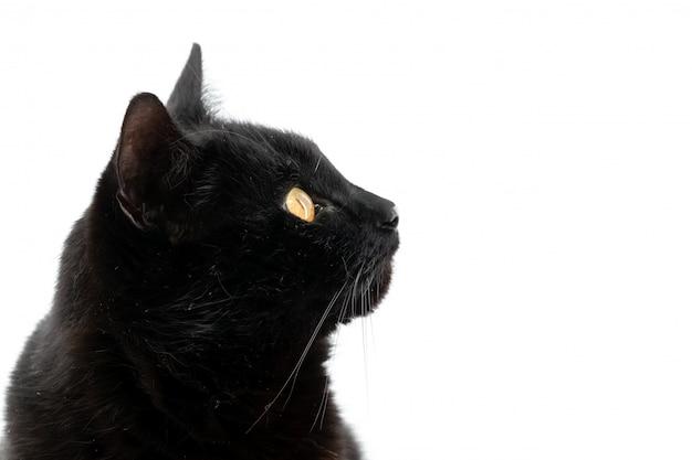 Schöne schwarze katze wirft isoliert