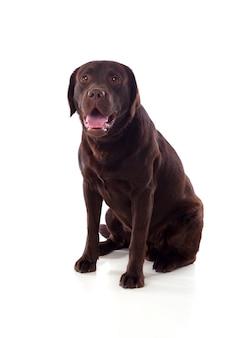 Schöne schwarze labrador-hunderasse
