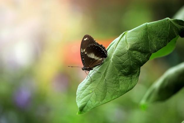 Schöne schwarze schmetterling thront auf den blättern im frühjahr