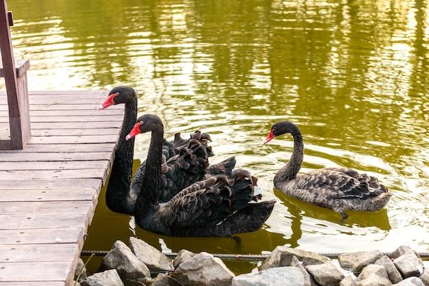 Schöne schwarze schwäne schwimmen am ufer eines kleinen flusses entlang. ruhe im herbst