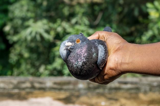 Schöne schwarze taube in der hand hautnah mit bokeh-hintergrund