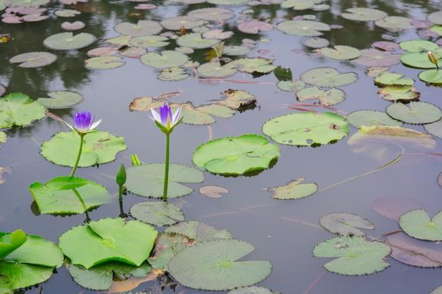 Schöne seerose oder lotosblume auf dem teich