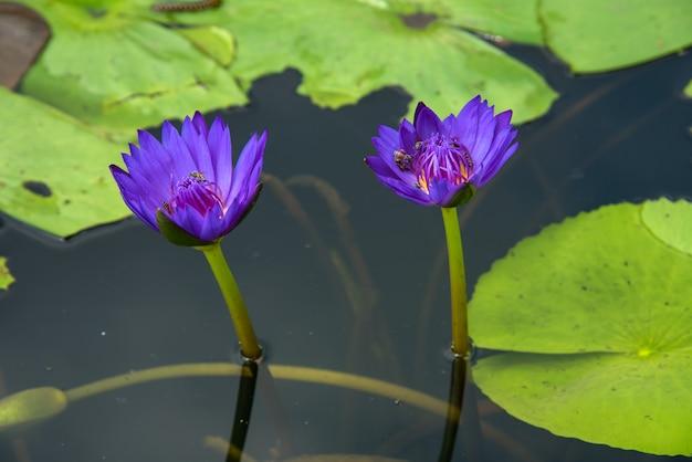 Schöne seerose oder lotusblume im teich