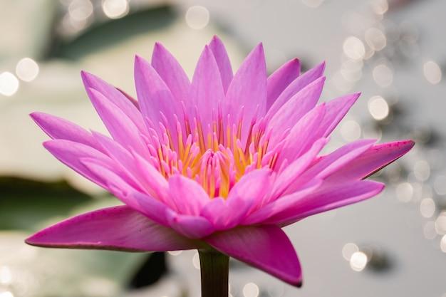 Schöne seeroseblüte im teich
