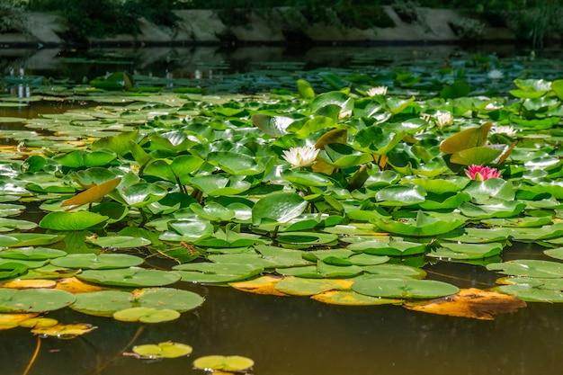 Schöne seerosen blühen im see im tsvermaghala park, georgia. flora.