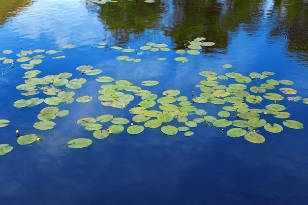 Schöne seerosenblätter auf blauem wasser