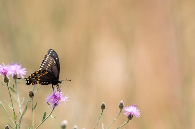 Schöne selektive aufnahme eines schwarzen schwalbenschwanzschmetterlings, der eine lila distelblume bestäubt