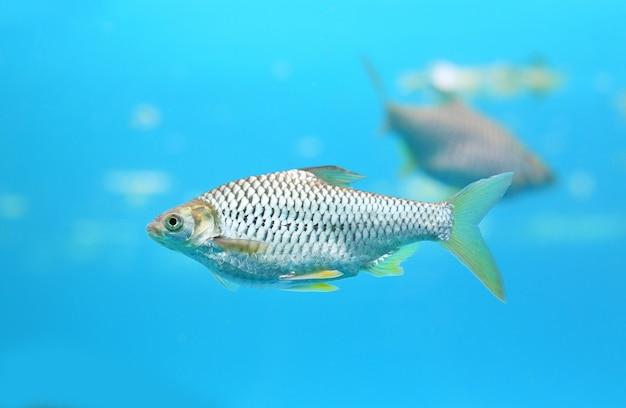 Schöne silberne widerhakenschwimmen im aquarium.