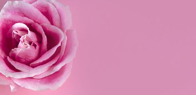 Schöne sommerfahne für eine website mit einer rosa rose nah oben auf einem pastellrosa hintergrund frei