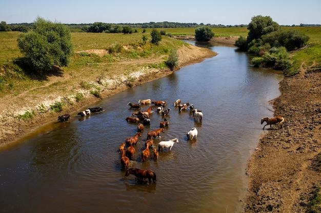 Schöne sommerlandschaft von pferden, die im fluss stehen