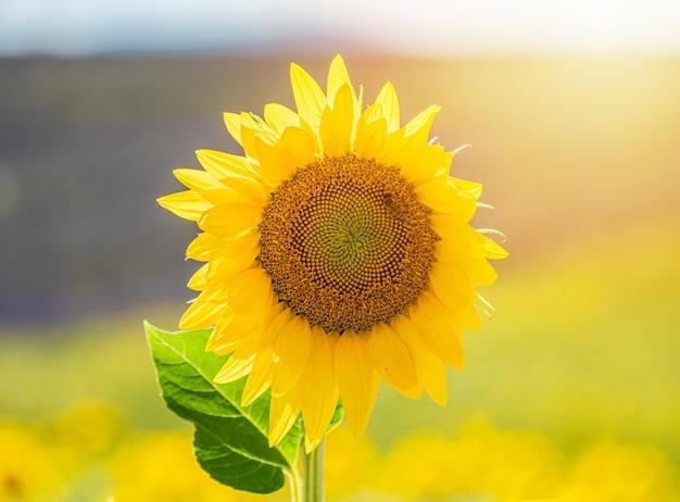 Schöne sonnenblume auf einem gebiet in valensole, provence