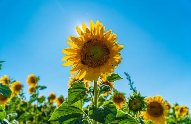 Schöne sonnenblume auf einem gebiet in valensole