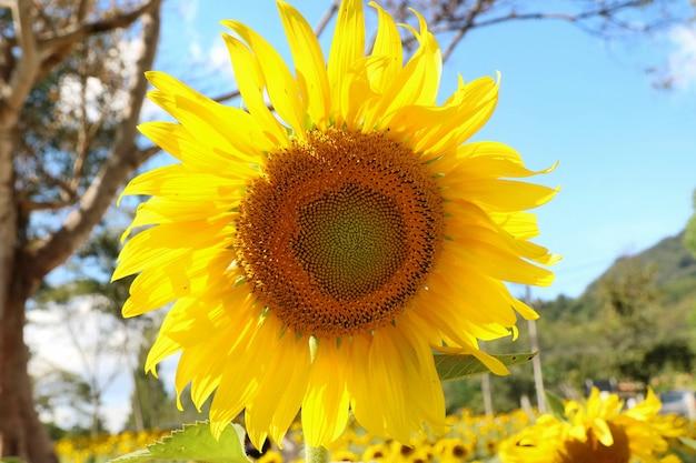 Schöne sonnenblume, die mit sonnenblumengarten, großem baum und blauem himmel blüht.